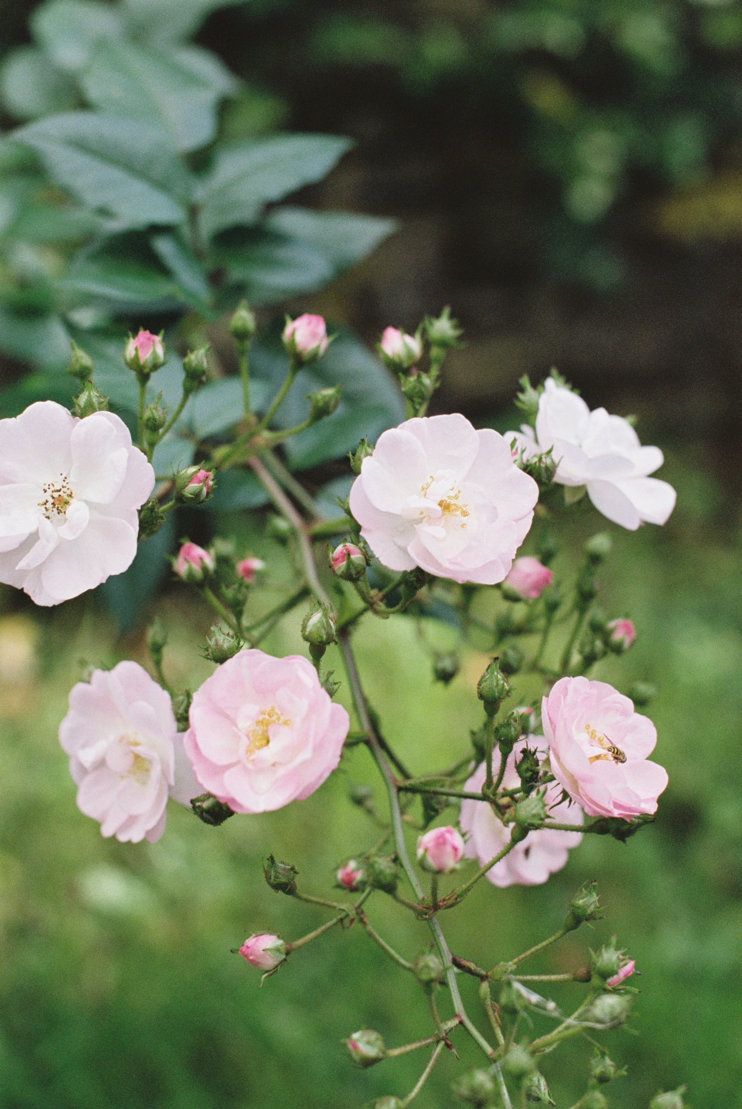 pink-roses-in-the-cotswolds